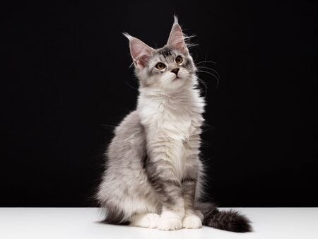 Beautiful silver cat Maine Coon. A kitten with large tassels on a black background and a white table. Color cat black ticked tabby bicolour Stockfoto