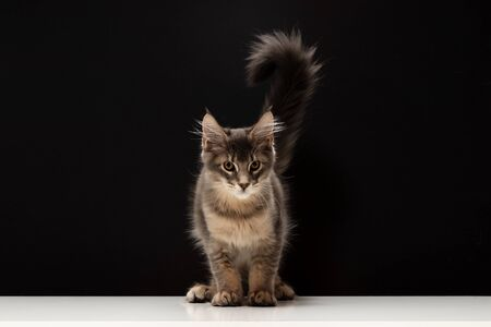 Beautiful Maine Coon kitten with large magnificent tail. Cat looks like squirrel with unusual mask. Black background and white table. Maine Coon cat 3.5 months. Kitten color blue ticked tabby Stockfoto