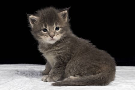 Maine Coon kitten 2.5 months old. Charming beautiful kitten on a white diaper and a black background. Cat color blue ticked tabby NS 25 03