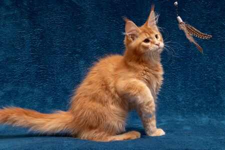 Red Maine Coon kitten plays a teaser toy. A beautiful cat is playing a teaser. Cat on a blue background. Maine Coon kitten 3 months. Color red ticked tabby D25 Stockfoto