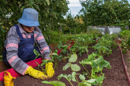 A female gardener plants a strawberry mustache in the ground. The farmer compacts the land around the strawberry seedlings. Growing berries in the country in the village Stockfoto
