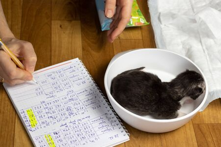 Maine Coon kitten is weighed on a balance. Registration weight gain kitten. Monitoring the health of the cat. Record results in the observation log.