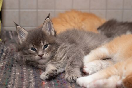 A cute charming Maine Coon kitten is looking at us. The kitten lies in a heap of cats. Maine Coon has beautiful tassels. The cat is 1 month old, its color is blue ticked tabby NS 25 03