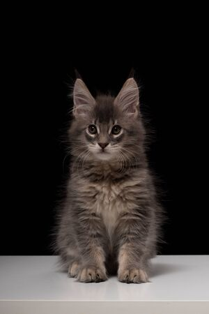 Beautiful purebred gray Maine Coon cat on a black background and white table. The kitten is 2 months old. Cat color blue ticked tabby NS 25 03