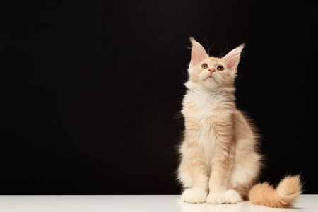 Young Maine Coon cat on a black background with copy space. The color of the cat is red silver ticked tabby bicolour DS 25 03. The kitten is 3.5 months old. Maine Coon is sitting on a white table. Stockfoto