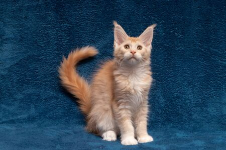 Beautifull young Maine Coon cat on a blue background. The kitten is 3 months old. Cat color red silver ticked tabby bicolour DS 25 03