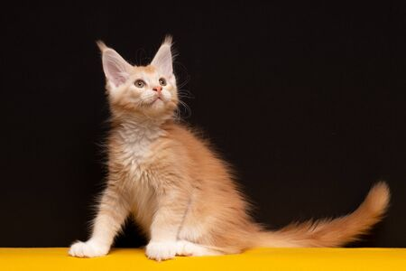Maine Coon kitten looks carefully. Kitten on a black and yellow background. Cat color red silver ticked tabby bicolour DS 25 03 Stockfoto