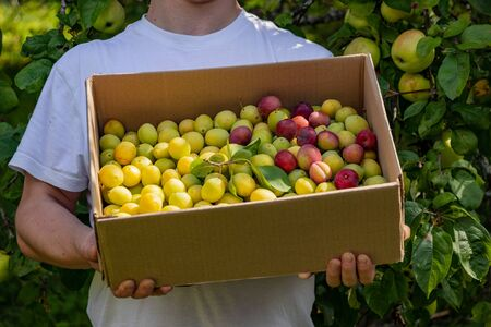 A man is holding a box of plums. New fruit crop. In the garden, apples hang on the branches of trees. Yellow and red plums in a box Stockfoto