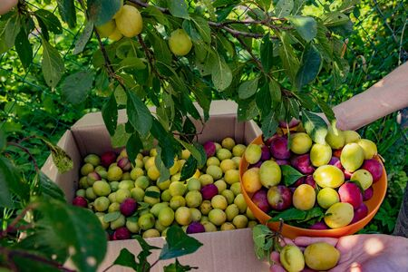 Harvesting plums in the garden in the village. Fruit on branches in a plastic bowl and cardboard box. The womans hands hold freshly picked yellow and red plums.