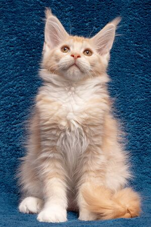 Maine Coon kitten on a blue background. Beautiful cat Maine Coon 3 months. Cat color red silver ticked tabby bicolour DS 25 03