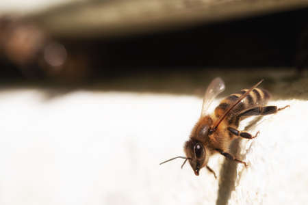 A bee sits at the entrance of the hive. The bright sun creates a copy space. Macro photo of a bee breed Apis mellifera carnica close up. Blank for advertising beekeeping products.