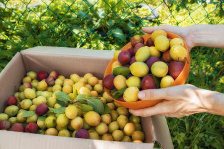 Harvest plums in the hands of a woman. An orange bowl and a box of freshly picked fruit. Fresh yellow and red plums in the garden. Stockfoto