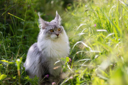 Young Maine Coon cat walks outdoor in the summer in the village. Beautiful silver-colored kitten is 6 months old. Soft sunlight shines on the green grass. Cat has large eyes, ears and tassels on ears