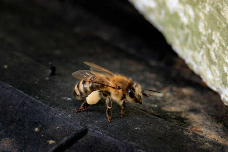 Honey bee brought linden pollen to the hive. Apis mellifera carnica against a dark background at the entrance to the hive. Beautiful macro photo of a European working bee with pollen