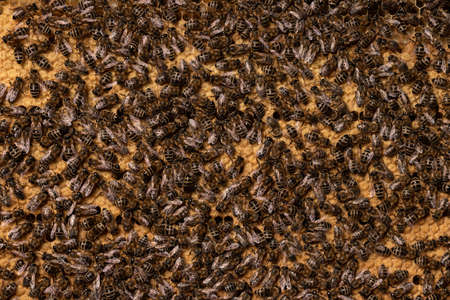 Background of honeycomb with sealed brood and bees. Popular European bee Apis mellifera carnica. Many insects and larvae in cells closed with wax caps