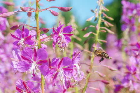 The bee flies to the fireweed flower. The main honey collection in the summer. Bee collects nectar from pink blooming sally flowers