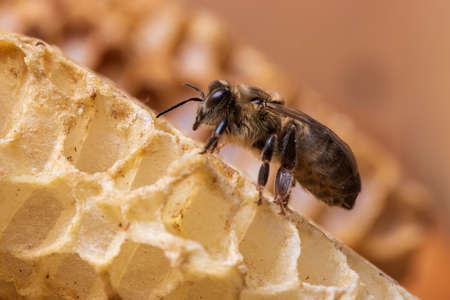 National honey bee day in August. Bee on a honeycomb close up