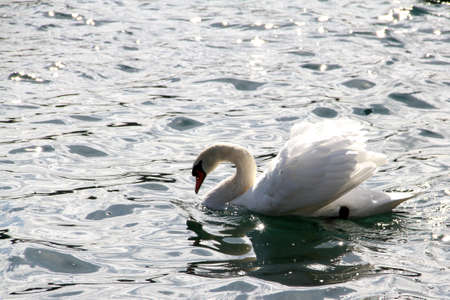 Beautiful white swan in a lake near the city of Lucerne. Imagens