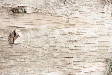 자작 나무 껍질 자연 질감 배경