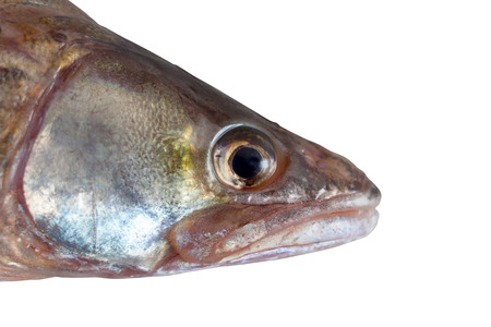 fish head  pike perch isolated white background clipping path photo