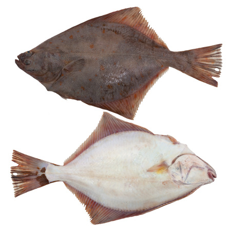 flounder fishes cold isolated white two front back