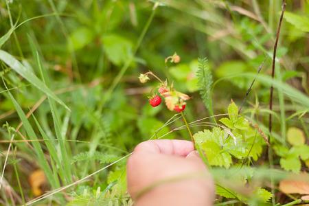 strawberries wild twigs hand picking close up grass background selective focus Standard-Bild