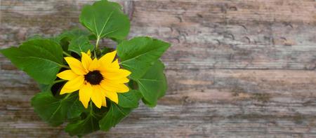 sunflower pot closeup wooden table background top view shallow DOF filter tint Standard-Bild