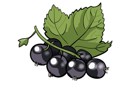 anddrawn black currant with a green leaf