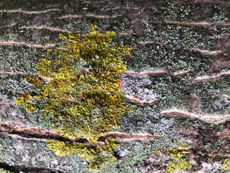 Wood and moss texture. Old moss on the bark of a tree close-up