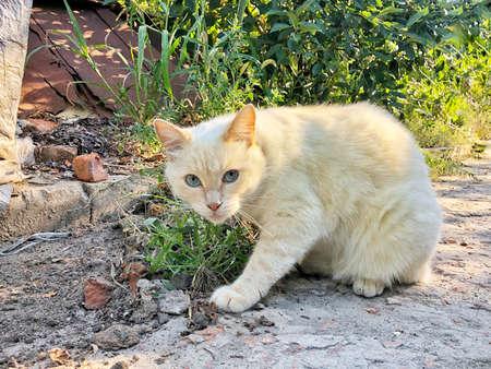 peach-colored cat ready to jump on the grass Zdjęcie Seryjne