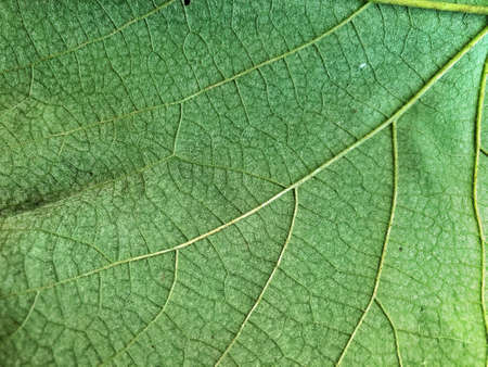 Texture of grape leaf. Green leaf, texture close-up. Grape leaf background