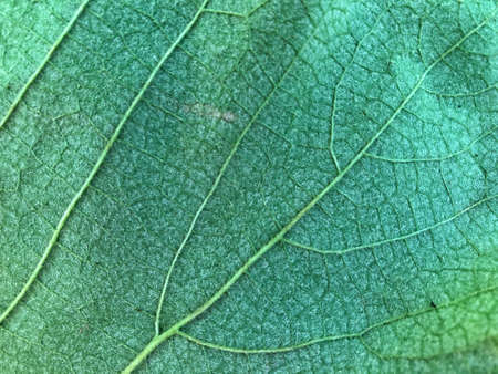 leaf texture. texture of grape leaf macro close-up. beautiful leaf background Zdjęcie Seryjne