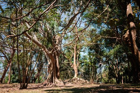 Big banyan trees. Forest in thailand.