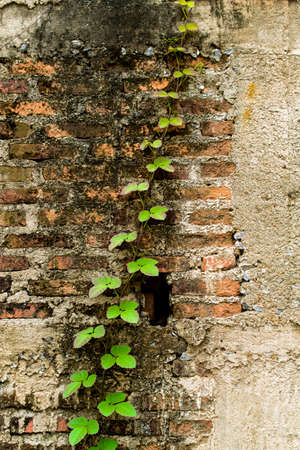 Climber tree on old and crack brick wall photo