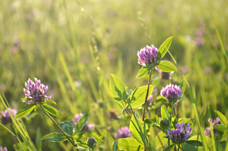 red clover: Red clover flowers