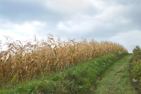 champ de mais: champ de maïs d'or à l'automne