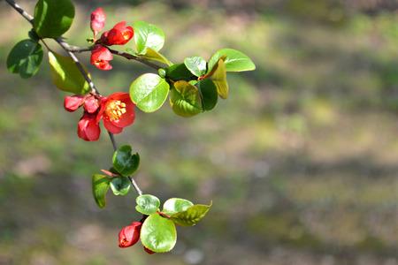membrillo: flor de membrillo rojo Foto de archivo