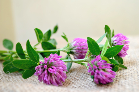 red clover: Red clover flowers on canvas background Stock Photo