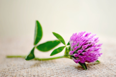 red clover: Red clover flower on canvas background