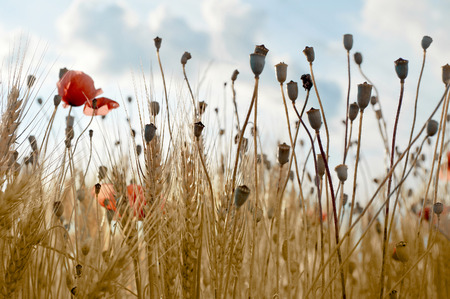 Red poppies in the wheat