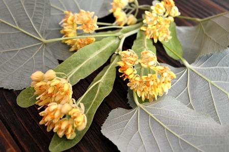tilo: Las flores de tila Foto de archivo