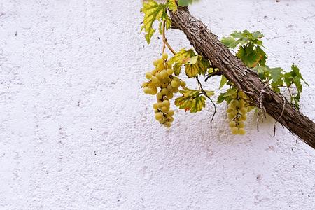 grapevine: Grapevine