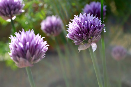 chive: Chive flowers in the garden
