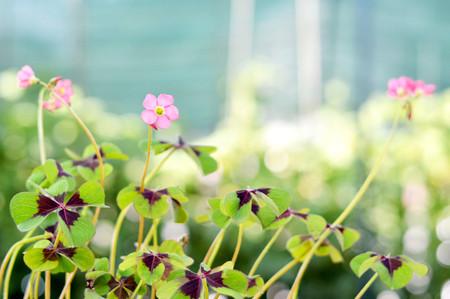 Iron cross flower