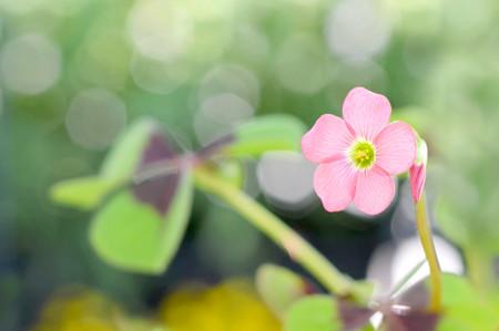 Pink flower of good luck plant (lucky clover)