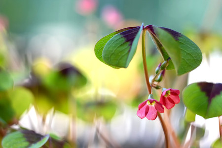 fourleaved: Good luck plant with flowers on blurred background Stock Photo