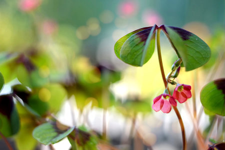 Four leaf clover with flowers on blurred background