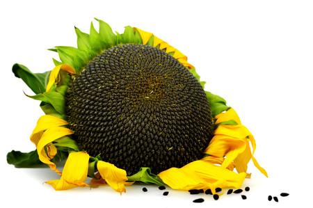 Rijpe zonnebloem die op witte achtergrond wordt geïsoleerd Stockfoto