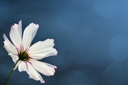 Cosmos flower on blurred blue background with copy space