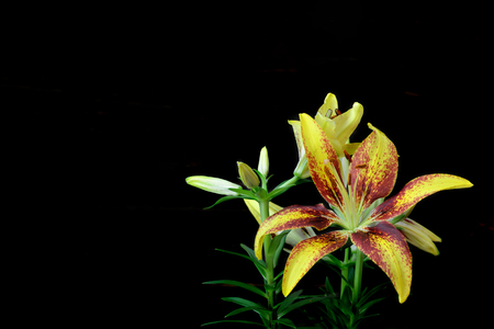 Yellow lily flower isolated on black background